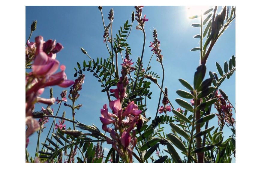 Wunderpflanze Esparsette